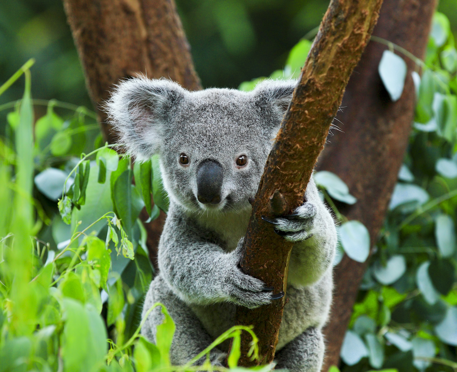 young Koala in Australian forest treated with Laser & LED for burns